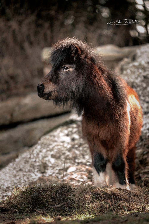 Mini Shetty Pferdefotografie