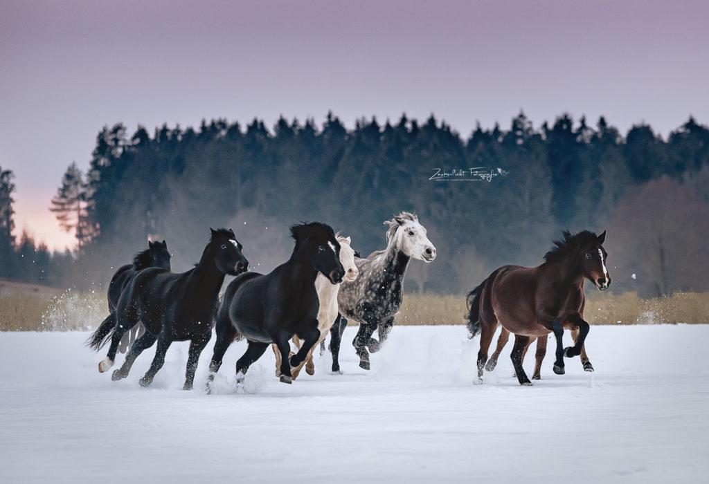 Pferde Herde im Galopp